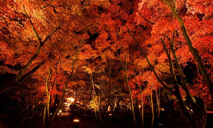 写真:色づく森を見上げる秋の夜 10/12~11/4 18:00~21:00